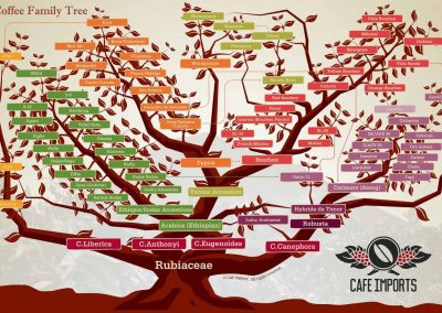 arbre_genealogique_varietes_cafe