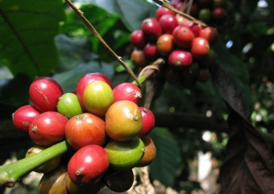 coffee arabica variete maragogype cafe reunion
